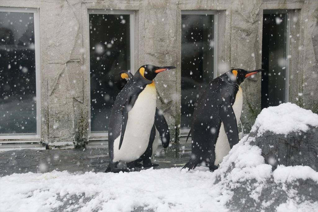 キングペンギン_10