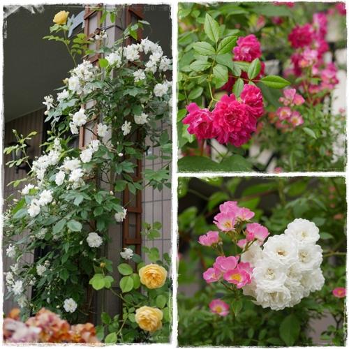 rose_20160527083732a65.jpg