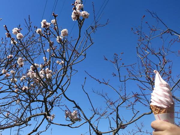 平岡公園 梅林 梅ソフトクリーム