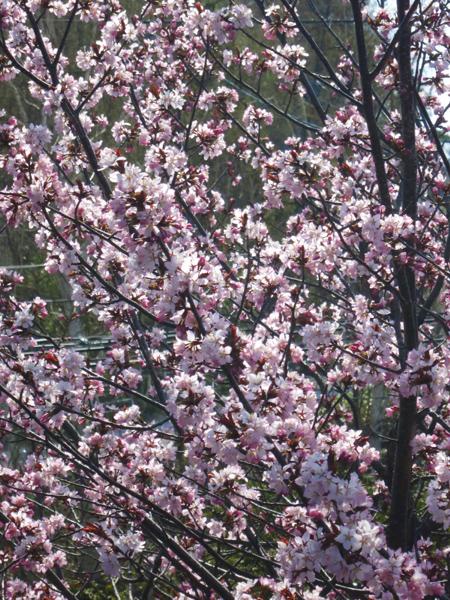 蝦夷山桜 2016