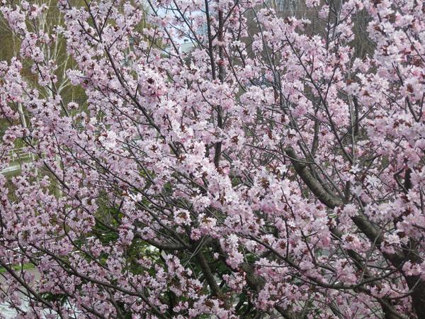 夷山桜 2016 満開