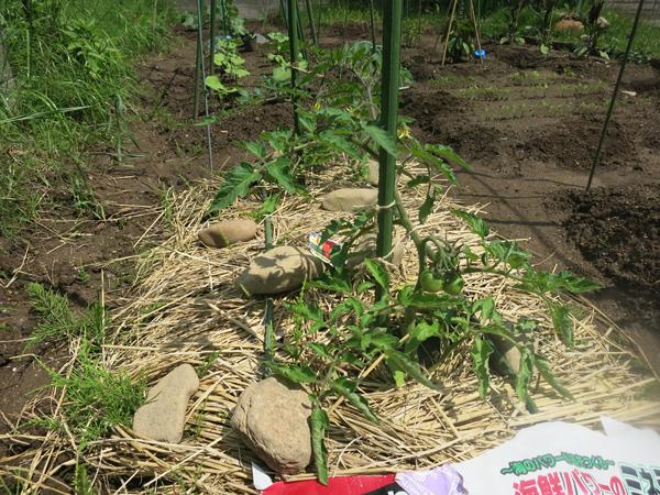家庭菜園 2016 大玉トマト