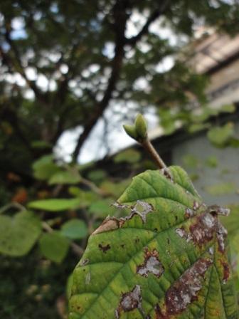 トサミズキの新芽