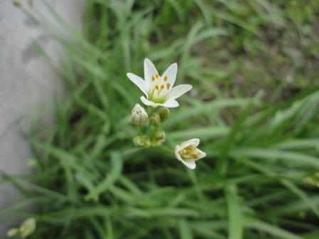 ニラの花①