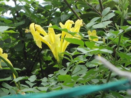 黄色も咲いていた
