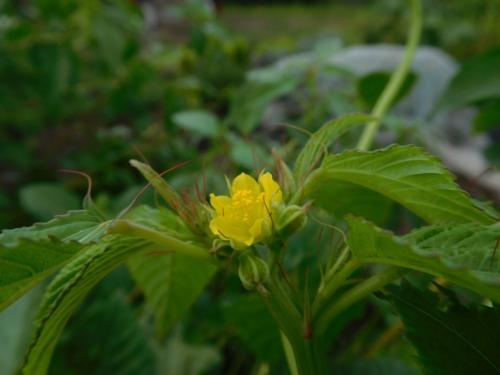 DSCN4486モロヘイヤの花