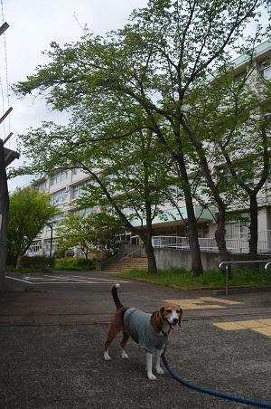 20160423稲城第八小学校10