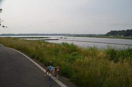 20160606西印旛沼11