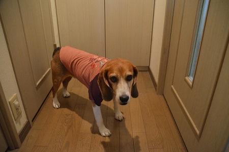 20160907犬服8316