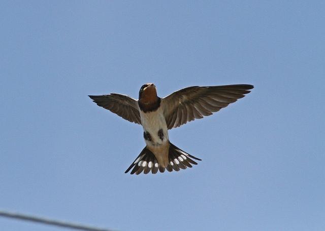 巣立ち雛の飛翔