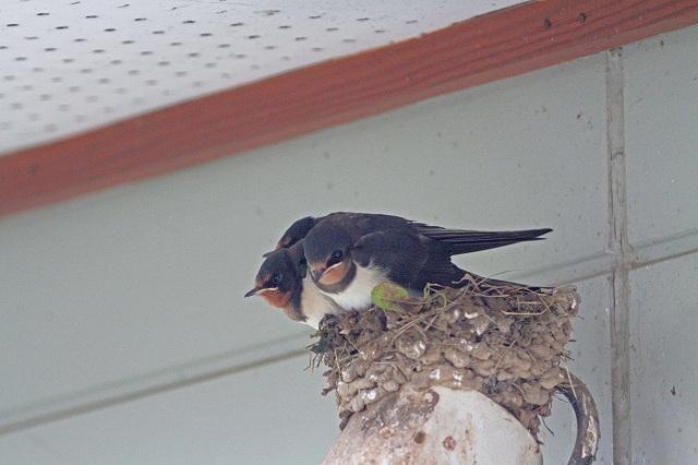 1番子が巣作り中の巣に