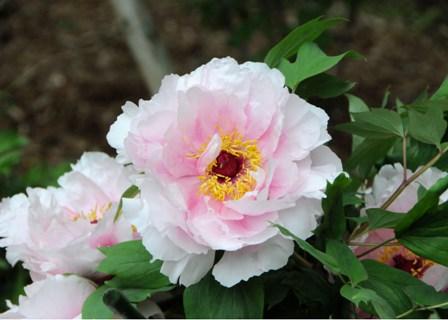 160429_09八重桜