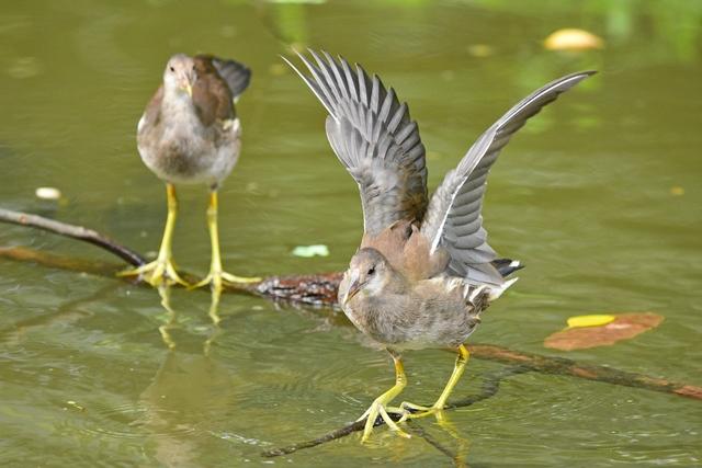バンの幼鳥(2)