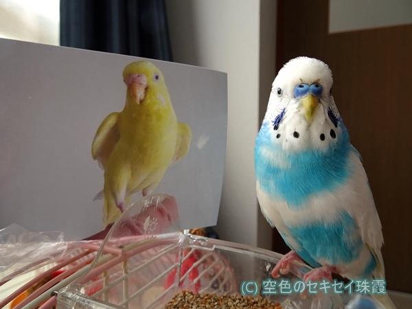 トリジちゃんと一緒  空色のセキセイ珠霞