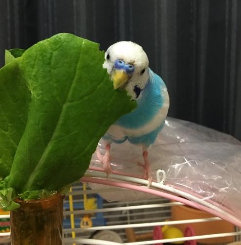 アブラナ科の小松菜は与えていい?  空色のセキセイ珠霞