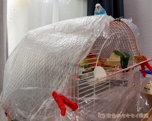 エアキャップでケージの保温  空色のセキセイ珠霞