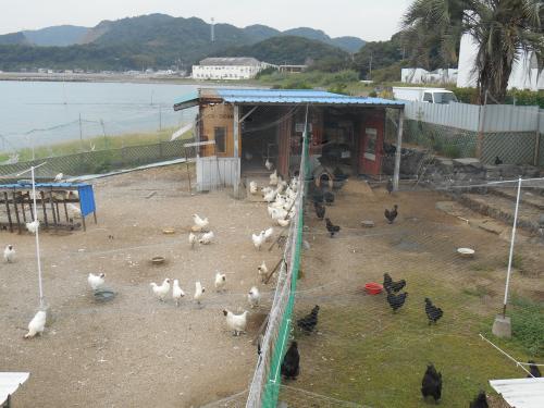 白・黒烏骨鶏