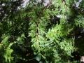 Austrocedrus_chilensis_1[1]
