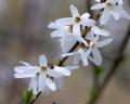 abeliophyllum_distichum[1]