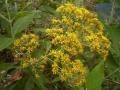 Ferreyranthus excelsus