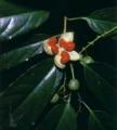 Erythrospermum acuminatissimum