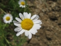 Chamaemelum_nobile1[1]