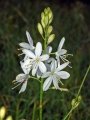 Anthericum_ramosum[1]