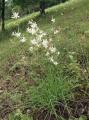 Anthericum_ramosum_250605[1]