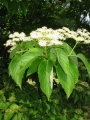 Swida_macrophylla_3[1]
