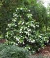 portlandia-grandiflora-1[1]