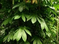 O palmatum