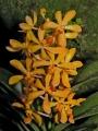 ArachnopsisShahAlamCity.jpg