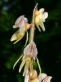 Epipogium_aphyllum1.jpg