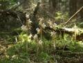 Epipogium_aphyllum.jpg