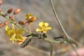 Hoffmannseggia_microphylla.jpg