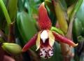 Maxillariella_tenuifolia.jpg