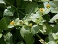 Melanthera_biflora.jpg