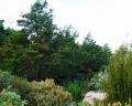 Widdringtonia_nodiflora.jpg