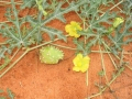 acanthosicyos-naudinianus.jpg