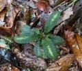physacanthus_batanganus.jpg