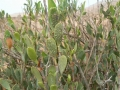 saharanthus-ifniensis1.jpg