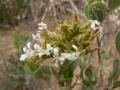 saharanthus-ifniensis.jpg