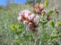 tessaria_absinthioides.jpg