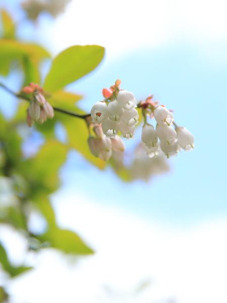 niwa burueberry (1)