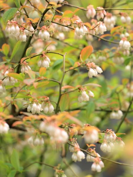 niwa burueberry (3)