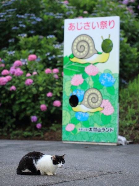 ajisai taikoyama (12)