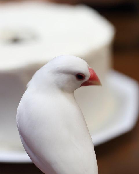 koreha sifon keki (1)