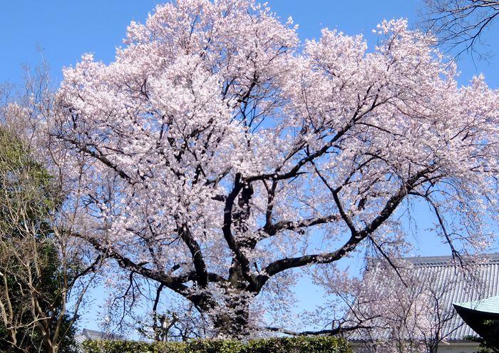 2016-3-13-1曼荼羅寺江南指定天然記念物