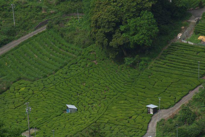 2016-5-3-1茶畑