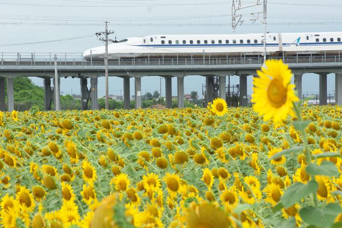 2016-8-12-1ひまわりと新幹線